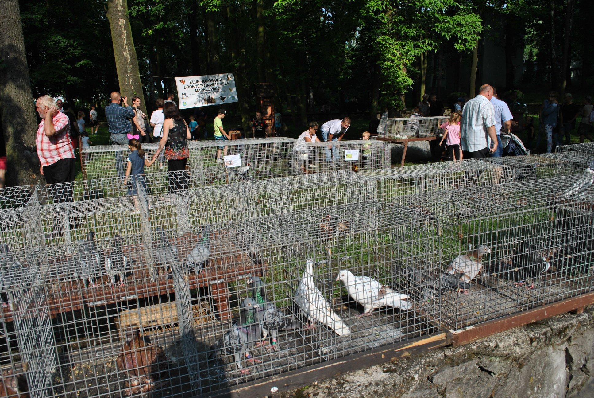 gołębie w klatkach